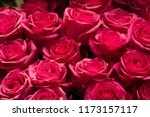 roses flowers. a plant with... | Shutterstock . vector #1173157117