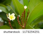 frangipani flowers close up... | Shutterstock . vector #1173254251