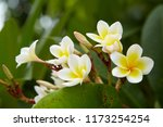 frangipani flowers close up... | Shutterstock . vector #1173254254
