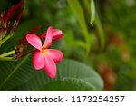 frangipani flowers close up... | Shutterstock . vector #1173254257