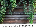 creeper plant on rustic wooden... | Shutterstock . vector #1173302317
