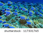 Shool of powder blue tang in the coral reef - stock photo