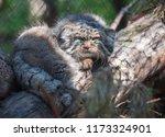 pallas's cat  otocolobus manul  ... | Shutterstock . vector #1173324901