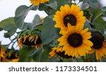 yellow sunflowers  helianthus... | Shutterstock . vector #1173334501