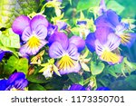 flowers viola tricolor pansy in ... | Shutterstock . vector #1173350701