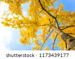 autumn golden ginkgo leaves | Shutterstock . vector #1173439177