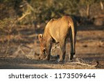 a mother lion nuzzles her young ... | Shutterstock . vector #1173509644