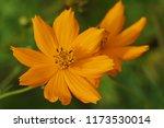 yellow cosmos or cosmos... | Shutterstock . vector #1173530014