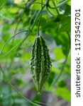 momordica charantia called... | Shutterstock . vector #1173542701