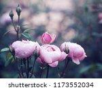 pink roses on the bush  macro ... | Shutterstock . vector #1173552034