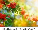 rowan tree  close up of bright... | Shutterstock . vector #1173556627