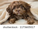 Stock photo cute puppy hiding in blanket 1173605017