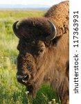 Small photo of Closeup of a North American Buffalo