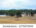 Large Herd Of Elk Grazing And...