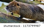 close up nutria rodent in... | Shutterstock . vector #1173799987
