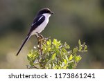 common fiscal shrike or jackie... | Shutterstock . vector #1173861241