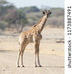 single young giraffe  giraffa... | Shutterstock . vector #1173887491