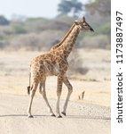 single young giraffe  giraffa... | Shutterstock . vector #1173887497