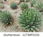 agave victoriae reginae  queen... | Shutterstock . vector #1173892231