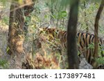 bengal tiger  panthera tigris... | Shutterstock . vector #1173897481