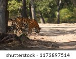 bengal tiger  panthera tigris... | Shutterstock . vector #1173897514