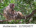 common monkey wondering around...   Shutterstock . vector #1173924577