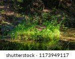 Growing Reeds In The River At...