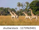 south african giraffe or cape... | Shutterstock . vector #1173965401