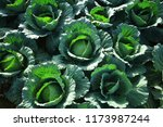 close up on fresh cabbage in... | Shutterstock . vector #1173987244