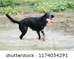 Stock photo black dog looks cute playing wit red football in puddle after summer rain 1174054291