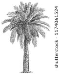 Date Palm Tree Illustration ...