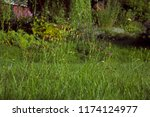 big uncultivated meadow with... | Shutterstock . vector #1174124977