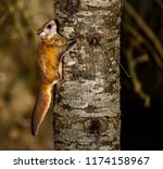 Northern Flying Squirrel Shot...