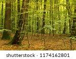 beech forest. beech is a... | Shutterstock . vector #1174162801