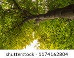 beech forest. beech is a... | Shutterstock . vector #1174162804