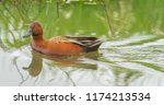 a cinimon teal swimming in a... | Shutterstock . vector #1174213534