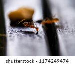 Macro Red Ant Eating. Nature...