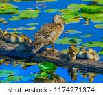 mallard duck female small...   Shutterstock . vector #1174271374