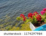 geranium in a pot against the... | Shutterstock . vector #1174297984