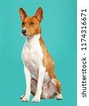 Basenji Dog On Isolated Blue...