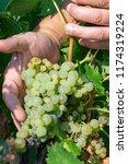 ripe white wine grapes plants... | Shutterstock . vector #1174319224