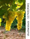 ripe white wine grapes plants... | Shutterstock . vector #1174319341
