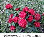 beauty red ixora on blur... | Shutterstock . vector #1174336861