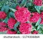 beauty red ixora on blur... | Shutterstock . vector #1174336864