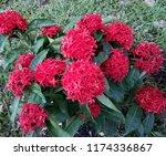 beauty red ixora on blur... | Shutterstock . vector #1174336867