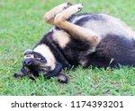 dog lying on the grass | Shutterstock . vector #1174393201