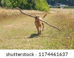 labrador dog running through... | Shutterstock . vector #1174461637