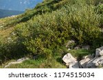 marmot in the rocks  alps in... | Shutterstock . vector #1174515034