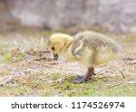 a canada goose gosling  branta... | Shutterstock . vector #1174526974
