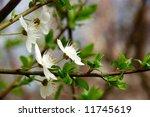 plum bloom   Shutterstock . vector #11745619